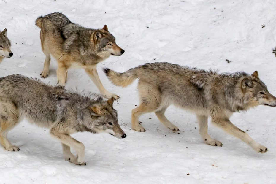 A PAck of Wolves folling the Alpha. A Leadership Journey